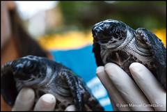 Proyecto TAMAR (Vitoria) (avix42) Tags: svbbpc1 svbbpc2 brasil brazil victoria vilavelha tamar tortugasmarinas tartarugasmarinas seaturtle turtle tortuga tartaruga conservacin conservation mar pesca medioambiente wildlife
