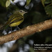 Yellow-olive Flycatcher, Tolmomyias sulphurescens