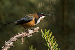 IMG_0509FLKR (mareeH1) Tags: australianimages birds easternspinebill honeyeater