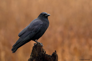 Northwestern Crow   Corneille d'Alaska