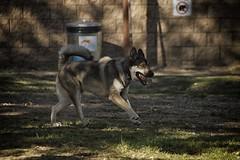 DSC_0022 (Harlum) Tags: boxer germanshepherd lab dogpark wolfhybrid husky malamute nikon nikond100 nikond5100 dogs