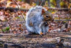 Chatty Cathy (David J. Batista) Tags: squirrel outdoors woodedtrail centralpark newyorkcity theramble wildlife animal autumn nycparks canonrebelt5i efs1755mm amateurphotography photoenthusiast newphotographer