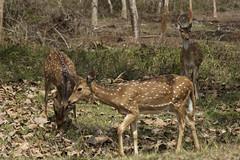 Deer at Mudumalai (code_martial) Tags: d3300 1685mmf3556gvr ooty2016 shotbynazia mudumalai