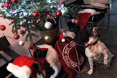 Christmas - Brock`s Stocking ! (Heaven`s Gate (John)) Tags: christmas brock springer spaniel dog pet tree sack stocking johndalkin heavensgatejohn lights hat red silver green