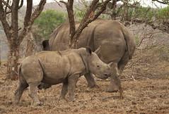 White Rhinocerous (Ceratotherium simum) (Gavin Edmondstone) Tags: ceratotheriumsimum whiterhinoceros redbilledoxpecker southafrica rhino rhinocerous