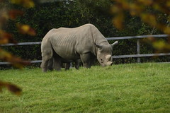 Chester Zoo (348) (rs1979) Tags: chesterzoo zoo chester blackrhino rhino