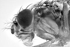 Retrato de una mosca (8X) (Anddune) Tags: drosophila melanogaster macro topmacro macrodreams meg macrofotografia extrememacro