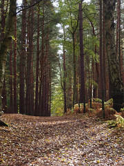 path throuh the conifers (mark.griffin52) Tags: olympusem5 england bedfordshire stockgrovecountrypark autumn woodland path conifers trees
