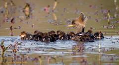 Momma moves the chicks along... (danielusescanon) Tags: bird hoodedmerganser lophodytescucullatus wild family chicks mom swimming huntleymeadows virginia birdperfect animalplanet anseriformes anatidae