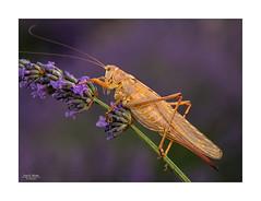 🤔 🤔 🤔 🤔 🤔... (Canconio59) Tags: insectos lavanda saltamontes caelíforos macro brihuega campos langosta ensíferos pradera flor villaviciosadetajuña
