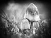 Duo champignonesque (steph20_2) Tags: panasonic gh3 45mm m43 lumix champignon mushroom macro closeup monochrome monochrom noir noiretblanc ngc blanc black bw white skanchelli automne autumn