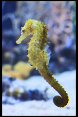 zeepaardje2 (Klaas5) Tags: dierenpark oceanografic animals dieren zoo dierentuin animalpark aquarium seahorse