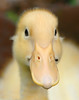 Baby Duck (kconkling) Tags: bird birds duck ducks babyduck