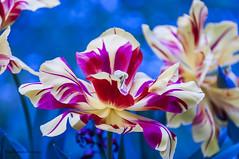 DSC_7376 (pisavola) Tags: flora monti pisani