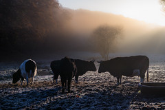 """les matins blottis dans la gele blanche"" (R:v) Tags: france franais finistre fort forest bretagne brest animal animals animaux light life lumire landscape color ciel colors cold frozed autumn winter cow"