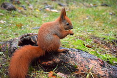 a red squirrel (JoannaRB2009) Tags: park animal squirrel nature d lodz polska poland parkponiatowskiego autumn fall winter