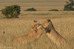 Lionnes, Masaï-Mara, Kenya (alainjancart) Tags: mammifères kenya masaïmara lionne lion félidés safari animal animaux