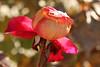 To Die In Beauty (gripspix (OFF)) Tags: 20161208 rose decay vergehen death tod kälte coldness frost sun sonne evanescence vergänglichkeit petal blütenblatt texture textur