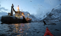 Kayaking with orcas and herring fishermen (Snemann) Tags: kayaking tromsø troms december norway marinemammals orca atwork people atsea wintersea fjords