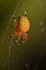 Marbled Orb Weaver (Lopshire Photography) Tags: macro nature spider nikon arachnid sigma frio entomology macrophotography d4 3leggedthing sigma50th orbis® orbisrgallery orbisgallery orbisrf gearupwithsigma