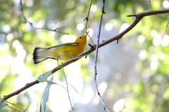 Prothonotary Warbler (Michael Woodruff) Tags: warbler prothonotary prothonotarywarbler
