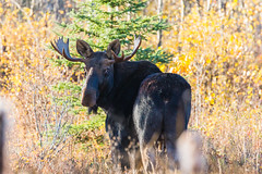 Moose in Fall (shuggins250) Tags: cold fall nature river garden peace wildlife moose columbia british pollination