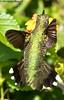 A Little Tail / Ruby-throated Hummingbird - Bayou Courtableau, Louisiana (Image Hunter 1) Tags: flower green bird nature leaves female flying wings louisiana hummingbird wildlife tail flight feathers bayou swamp greenery iridescent marsh lantana rubythroated canoneos7d bayoucourtableau
