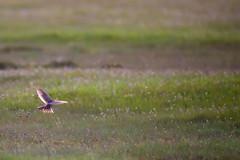 Eurasian Skylark - Alauda arvensis (pakerholm) Tags: bird birds animals sweden wildlife meadow birdsinflight sverige skylark lark bif land birdinflight 2014 fglar djur fgel lintu linnut alaudaarvensis eurasianskylark vildadjur snglrka lrka