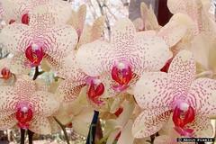 2003-04 Orchiden - Keukenhof (lisse) (About Pixels) Tags: 2003 nature netherlands flora nederland natuur april agenda themepark bloemen keukenhof zuidholland lisse 0417 halfweg nld attractiepark collecties provinciezuidholland mnd04 aboutpixels lenteseizoen