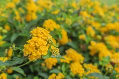 FLOWERY GREEN YELLOW / VERDE AMARELO FLORIDO (Arthur Perruci) Tags: arthurperruci nikond5000 nikon d5000 arcoverde pernambuco nordeste brasil coth 35mm f18 afsnikkor35mmf18g naturesfinest flower nikon35mm18afs