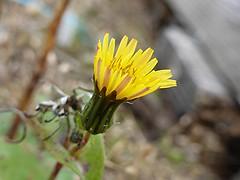 Dandelion (IrenicRhonda) Tags: flowers game public geotagged scotland october unitedkingdom escocia pre done cromarty schottland ecosse 2014 gbr nigg p4m redbubble lascozia  tainandeasterrossward u3aphotography geo:lat=5769248889 geo:lon=402090000