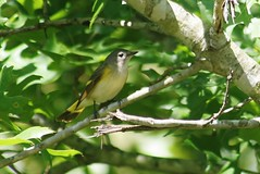 American Redstart, Setophaga ruticilla.  Bald Knob NWR, Bald Knob, Arkansas,  Photo by Wes, 5-14-2013 (wesbird72) Tags: bird eye birds america fly flying wings eyes tail birding flight wing beak feathers feather american aba arkansas birder northamericanbirds americanredstart setophagaruticilla baldknob americanbirds birdsofnorthamerica americanbirdingassociation photobywes baldknobarkansas abaarea arkansasbirding birdingarkansas americanbirding americanbirder arkansasbirder 5142013 rons5142013 baldknobnationalwildliferefuge baldknobnwr