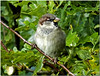 Day 277 of 365 - House Sparrow (Passer domesticus) (Brian The Euphonium) Tags: bird photoaday housesparrow passerdomesticus conwy rspb 277365 2014pad