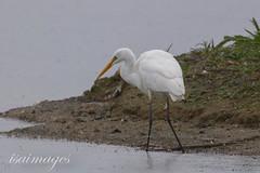 Great White Egret (isaimages) Tags: rutland rutlandwater greatwhiteegret egleton