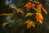 Colours 2014-10-05_02 (Jan Thomas Landgren) Tags: trees red orange tree fall nature leaves yellow göteborg leaf colours sony gothenburg natur sverige träd sonyilca77m2 sonya77mark2