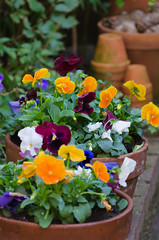 Winterviolen (Dutchmarc) Tags: winter orange plant flower green garden colorful purple container tuin bloem viool pansie colourfull bloempot viooltje d5100 winterviool