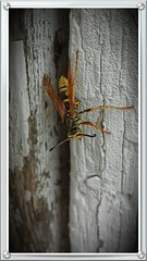Wasp (skeen123) Tags: wasp yellowjacket barnboard