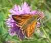 Thymelicus sylvestris 2 (beneventi2013) Tags: lepidoptera hesperiidae canonpowershota610 paolobeneventi