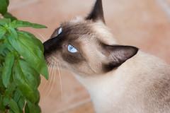 Vega (carmenrizo) Tags: naturaleza cats nature beauty feline siamesecat siamese gatos gato felino ilovemycat katzen catcloseup catseyes ilovecats beautifulcats youngcats nosecats gatosdelmundo gatosdeflickr