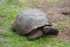 Galpagos tortoise or Galpagos giant tortoise, El Chalto, Santa Cruz Island, Galapagos Islands (ARNAUD_Z_VOYAGE) Tags: santa street city bridge sunset people food white house black mountains building green art cars church colors beautiful animal america forest sunrise butterfly river giant de landscape volcano pig ana town fly casa ecuador amazing san place market dragonfly or wildlife south capital tortoise young artesanal insects andes luis moutains province canton indigenous otavalo galpagos cotacachi imbabura wondeful