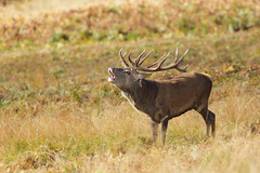 Red Stag At Bradgate (Jigsaw-Photography-UK) Tags: red stag wildlife deer bradgate jpproductionsuk