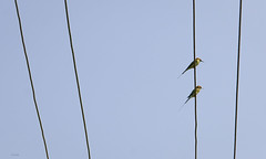 couple on a wire ([s e l v i n]) Tags: blue sky india birds wire couple cable maharashtra panshet beeeater birdphotography birdsonawire selvin