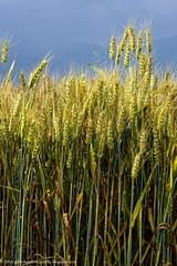 _DSC7435-Modifica-Modifica-1 (gilbertotphotography.blogspot.com) Tags: italy landscape nikon italia grain campagna piemonte fields cuneo piedmont grano boves campi nikonista