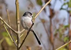IMG_9525 Long-tailed tit (steve.ray50) Tags: 2014 kingsdown