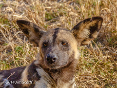 African Wild Dog (closeup of prior photo) (Jim Scarff) Tags: botswana africanwilddog carnivores moremigamereserve lycaonpictus canids canidae africanmammals
