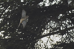 _DSC378814-10-03 (jackez2010) Tags: birdinflight fauconcrécerelle mainlevéeaf minolta40045ghs ilca77m2