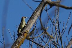 Les oiseaux de dimanche (Seix/Ariège) (PierreG_09) Tags: green woodpecker european pic vert » oiseau pyrénées pirineos faune « ariège viridis picus piciformes grünspecht seix pitoreal couserans picidés vihertikka