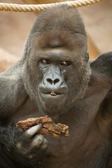 2014-09-10-15h56m53.BL7R2446 (A.J. Haverkamp) Tags: zoo prague gorilla praha richard czechrepublic praag dierentuin tsjechi tsjechie westelijkelaaglandgorilla canonef100400mmf4556lisusmlens pobfrankfurtgermany httpwwwzooprahacz dob09111991