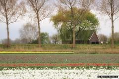 2014-04 Tulpen geven weer kleur aan het landschap (Dirksland) (About Pixels) Tags: 0406 2014 april collecties dirksland goeree mnd04 natuur nederland netherlands nld provinciezuidholland stadaantharingvliet aboutpixels flora landschap lenteseizoen zuidholland bloem tulp tulip flower nature landscape