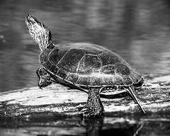 May 28, 2007-untitled shoot-51.jpg (Jason.HM) Tags: lake nature public water animal photo log turtle painted shell amphibian creature paintedturtle
